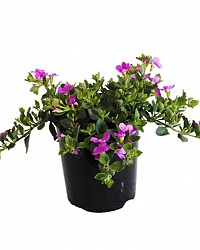 Bacopa_Great_Pink_14_2_9320658048607