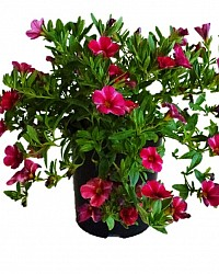 Calibrachoa_Red_and_pink_Stripe140mm_