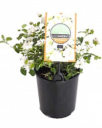 Lantana_White_with_Label_14_9320658015937